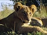 Wildlife Specials: Lion - Spy in the Den