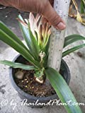 1 Bulb of Crinum SPP, This Plant is a Natural Dwarf. Plant