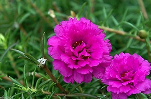 (PORTULACA Moss rose DOUBLE Pink ~ 200 seeds Great in Container, Easily Grown)