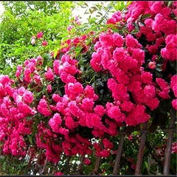 ShopMeeko Semillas: 100 Rose Planta Plantas Plantss 24 Especies ...