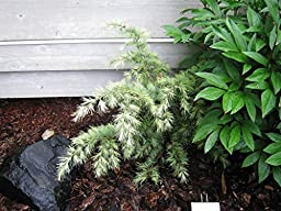 Silver Mist Deodar Cedar - Dwarf Shrub With White-Tipped Leaves - 3 -Year Live Plant