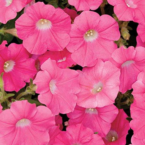 (Park Seed Shock Wave Rose Petunia Seeds)