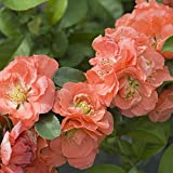 "Double Take Chaenomeles 'Peach' - 4"" pot - Flowering Quince - Proven Winners"