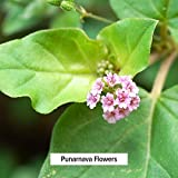 Banyan Botanicals Punarnava Powder - USDA Certified Organic, 1/2 lb - Boerhavia diffusa - Ayurvedic Herb for Heart, Liver, and