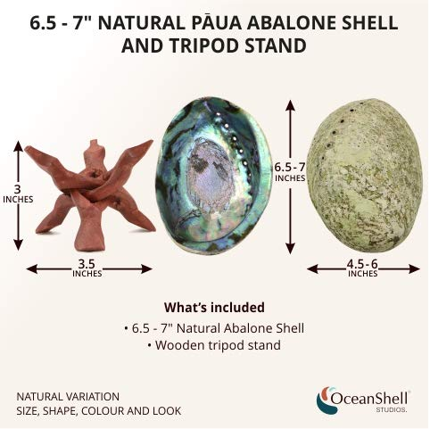 Ocean Shell Studios 6.5''+ Supreme Plus Natural Abalone (Pāua) Shell with Wooden Stand, for Smudging, Cleansing Home, Meditation, Shell Crafts,Incense Holder, Home Décor, 100% Natural, Sustainable. by Ocean Shell Studios (Image #1)
