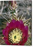 """Detail Bloom Of A Hedgehog Cactus"" by National Geographic, Canvas Print Wall Art, 16"" x 20"", Mirrored Gallery Wrap, Glossy Finish"