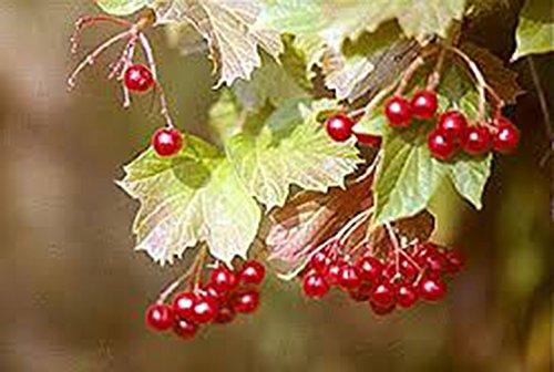 AMERICAN, Highbush, CRANBERRY, FRUITS, Fruit, Tree, Fruit Trees, (1), #1 Grade, Cranberry Plants, Highbush Cranberry, American Cranberry, Fruit Tree, Fruit Plant, Live Plants, Live Plant, Plants Cranberry Bush