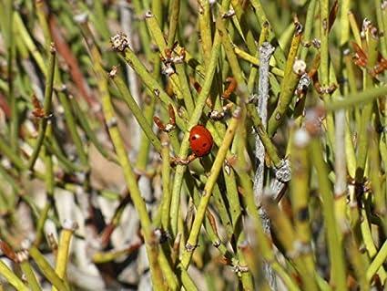30 Ephedra Sinica seeds - Seeds of the Gods: Amazon in