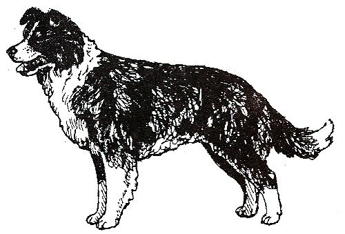 Dog Rubber Stamps -Border Collie-1E Size: 2-1/2