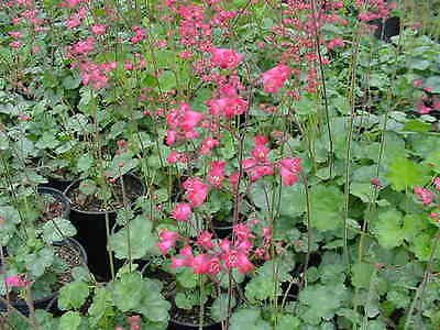 Hybrid Heuchera (Flower Seed: Heuchera Bressingham Hybrids Cora Bells 40 Seeds Fresh Seed)