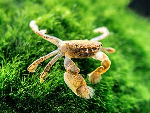 Aquatic Arts 1 Live Freshwater Pom Pom Crabs | Real Living Nano Aquarium Fish Tank Pet | Betta/Danio/ Rasbora/ Guppy Compatible from Aquatic Arts