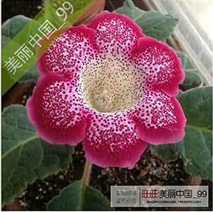 120 PC hermosas Semillas Flores Gloxinia, Sinningia Gloxinia Jardín de flores en maceta plantas, establecimiento perenne fácil de cultivar 13