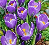 "12 Purple Crocus - Large Spring Blooming- Crocus ""Remembrance"""