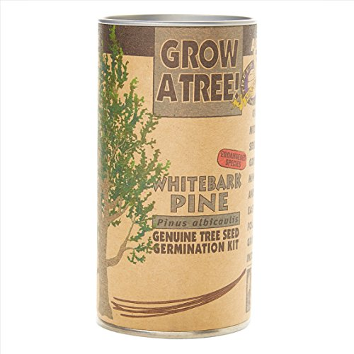 Whitebark Pine | Tree Seed Grow Kit | The Jonsteen ()