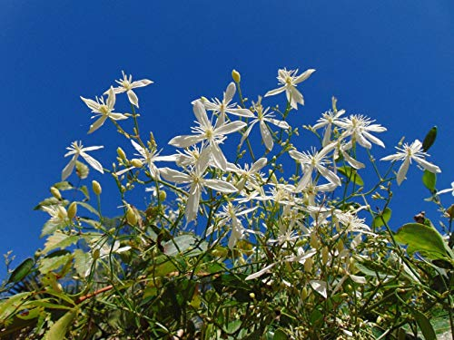 Sweet Autumn Clematis Clematis Terniflora Organic 10 Seeds GBP 001