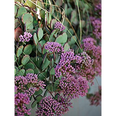 Perennial Farm Marketplace Sedum sieboldii (October Plant/Stonecrop) Groundcover, 1 Quart, Light Pink Flowers: Garden & Outdoor