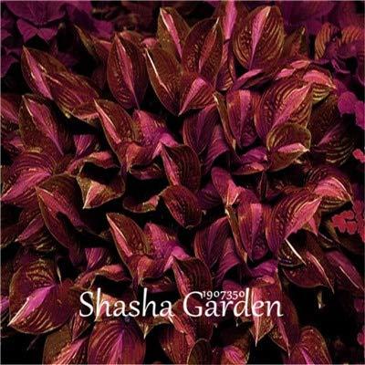 Fragrant Hostas - Kasuki Hot Sale! 200 pcs Hosta Fragrant Plantain Lily Bonsai Perennial Flower for Home Garden Ground Cover Precious hosta Pot Plants - (Color: 12)