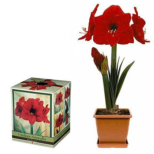 Red Lion Amaryllis Growing Kit - Great Gift! - Bulb/Pot/Soil Amaryllis Apple Pots