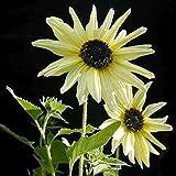 Sunflower Italian White Helianthus Debilis Light Flower Seeds for Home and Garden #LKY