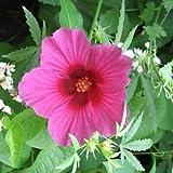 10 KENAF HIBISCUS Cannabinus Indian Hemp Red Flower SeedsComb S/H by Seedville