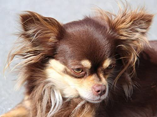 1art1 Hunde Brauner Langhaar Chihuahua 2 Teilig Selbstklebende Fototapete Poster Tapete 240 X 180 Cm Amazon De Kuche Haushalt