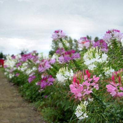 Flower Cleome Queen Mix SL3445 (Multi) 50 Open Pollinated Seeds ()