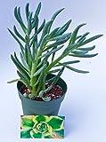 Fat Plants San Diego Senecio mandraliscae aka Blue Chalk Stick Succulent Plant