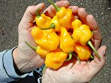 Trinidad Perfume Pepper (Heirloom Seeds) Wonderful aroma, Open pollinated !