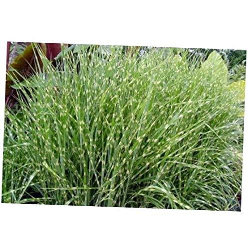 CJI 10 Seeds Miscanthus sinensis Zebrinus Zebra Maiden Grass - RK286