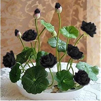 10pcs Bowl Lotus Flower Plants Lotus Plants Bonsai Lotus Bonsai Teach You How to Plant Home Garden