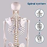 LYOU Human Skeleton Model, Medical Anatomical