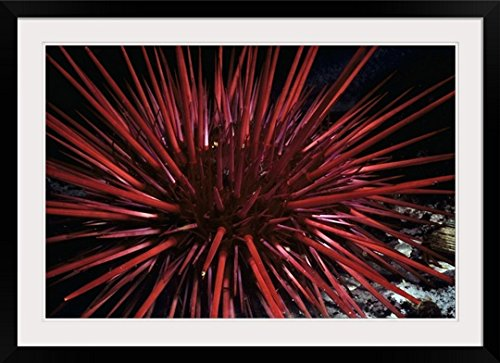 Greatbigcanvas  Spines Of Red Sea Urchin  Photographic Print With Black Frame  36  X 24