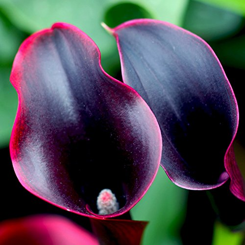 - helegeSONG Colorful Easy to Grow 100Pcs Zantedeschia Calla Lily Seeds Bonsai Potted Planting Flowers for Balcony, Yard, Lawn, Farm, Garden Decor - Wine Red Calla Lily Seeds
