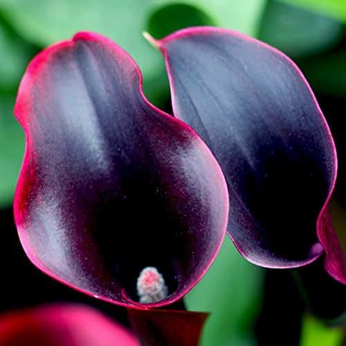 Narutosak 100Pcs Zantedeschia Calla Lily Seeds Bonsai Potted Planting Garden Flowers Decor - Wine Red Calla Lily Seeds