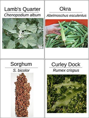 4 Pack Protein Seed Bundle - 500 Lambs Quarter - 20 Okra - 20 Sorghum - 300 Dock Seeds (Organically Grown)