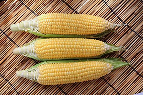 Sugar Buns Hybrid Corn Seeds ()