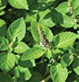 David's Garden Seeds Herb Basil Tulsi Holy D71104A (Green) 1000 Organic Seeds