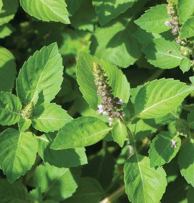 David's Garden Seeds Herb Basil Tulsi Holy OS71104A (Green) 500 Organic - Holy Basil Seeds