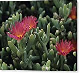 """Carpobrotus Succulent Plants"" by National Geographic, Canvas Print Wall Art, 20"" x 16"", Mirrored Gallery Wrap, Glossy Finish"