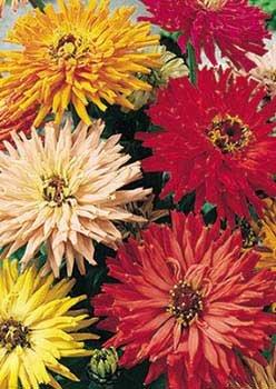 David's Garden Seeds Flower Zinnia Cactus Flowered Mix D3651 (Multi Color) 1000 Open Pollinated Seeds