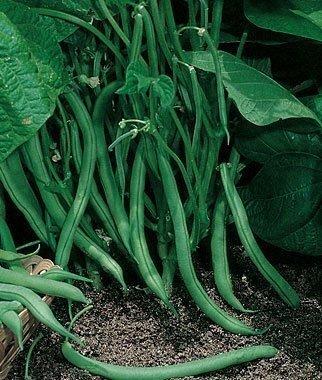 - David's Garden Seeds Bean Bush Contender SL1988 (Green) 100 Non-GMO, Organic, Heirloom Seeds