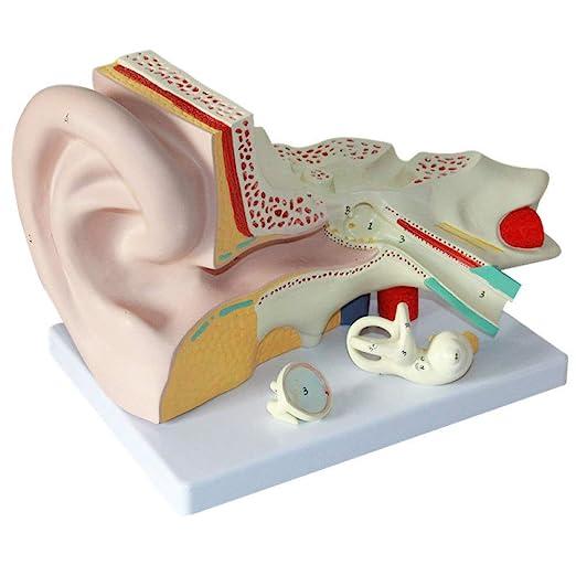 Modelo De Ampliación Anatómica Del Oído Humano Modelo De