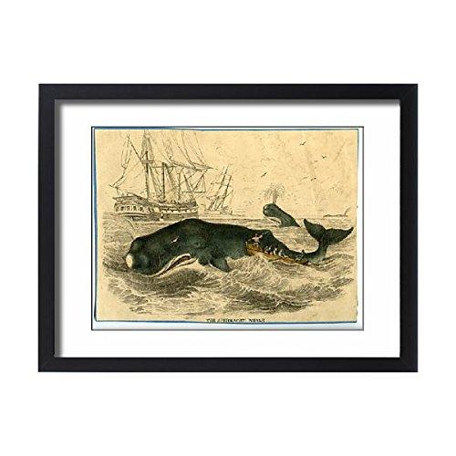 Sperm Whale Tooth - Framed 24x18 Print of Physeter macrocephalus, sperm whale (14400785)
