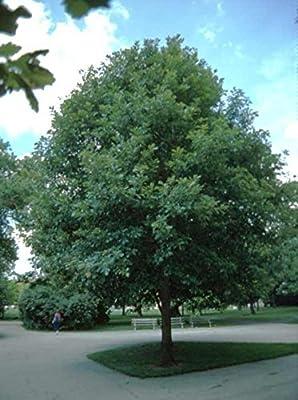 1 White Oak Tree-(quercus alba)