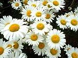 2,500 Shasta Daisy Seeds /