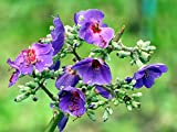 Home Comforts Laminated Poster Tibouchina Flower Plant Costa Rica Violet Poster Print 24 x 36