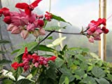Purple Red Bleeding Heart Flower Vine Tropical Plant Clerodendrum Thomsoniae