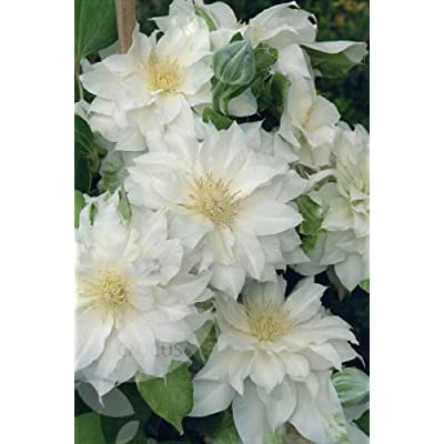 1 'Duchess of Edinburgh' Clematis, Double Blooms, 2yr. plant root : Garden & Outdoor