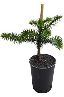 Araucaria Araucana /'Monkey Puzzle/' Tree Medium 30-40cm live plants