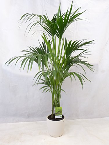 Howea forsteriana - Kentia Palme - 180 cm // Zimmerpflanze